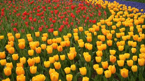 Amsterdam flowers tulips field