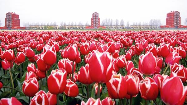 Almere flowers tulips field architecture