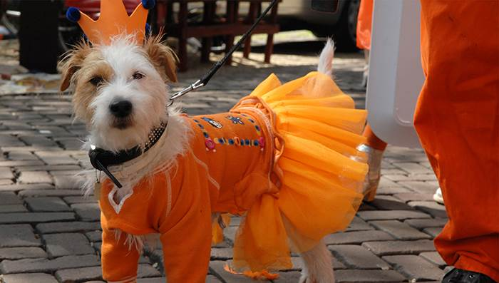 King's Day Amsterdam: Dog dressed in orange