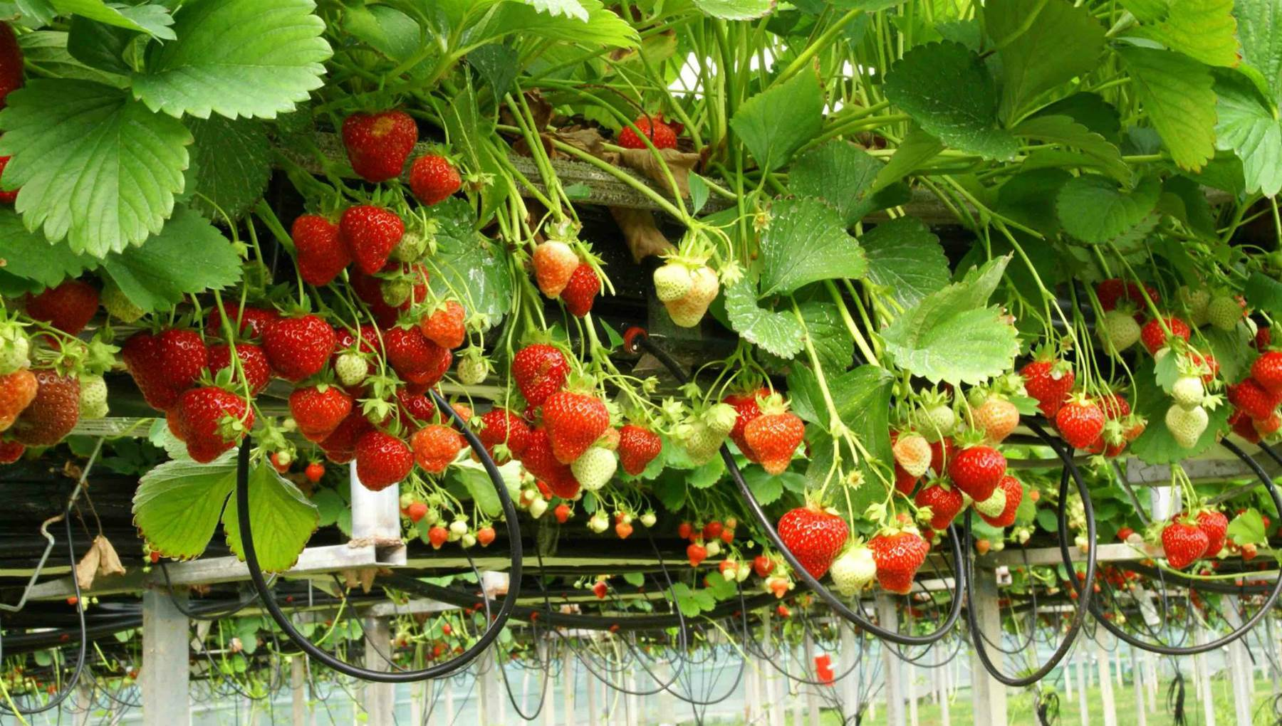 Field strawberries: useful properties and contraindications, photo 67